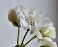 Fresh, full bloom white geranium. Close-up, soft focus,flowers on the windowsill stock photos