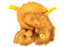 Fresh funnel chanterelle Royalty Free Stock Photo