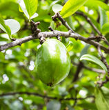 Fresh garcinia (madan) fruit on the tree, The tropical Thai herb Royalty Free Stock Photo