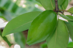 Fresh garcinia sour flavor the tropical Thai herb Stock Photography
