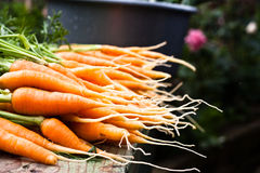 Fresh garden carrots Stock Photos