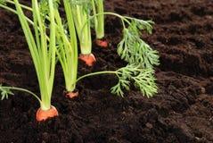 Fresh garden carrots shallow DOF Royalty Free Stock Photos