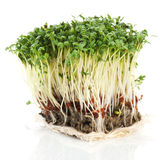 Fresh garden cress Stock Image