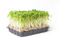 Fresh garden cress. On white background Stock Photography
