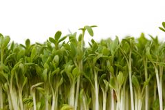 Fresh garden cress Royalty Free Stock Images