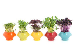 Fresh garden cress in colorful crockery Stock Image