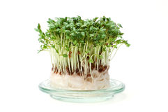 Fresh garden cress isolated Royalty Free Stock Photos
