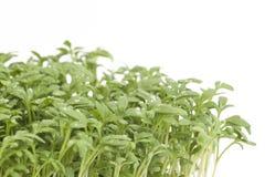 Fresh garden cress (LEPIDIUM SATIVUM) Royalty Free Stock Image