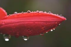 Fresh garden flower. Garden flower covered in early morning dew drops Stock Photo