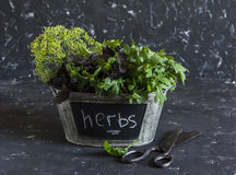 Fresh garden herbs - basil, arugula, thyme in a metal basket and old scissors Stock Photography