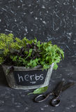 Fresh garden herbs - basil, arugula, thyme in a metal basket and old scissors Stock Photo