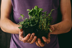 Fresh garden herbs. Gardener holding fresh oragano, basil and thyme, closeup Royalty Free Stock Photography