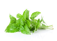 Fresh garden herbs. Green basil Royalty Free Stock Photography