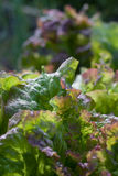 Fresh garden lettuce Royalty Free Stock Photography