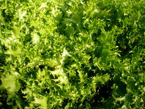 Fresh Garden Lettuce Royalty Free Stock Image