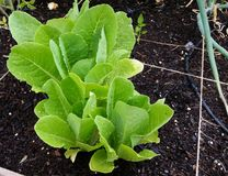 Fresh garden lettuce after a spring rain. Lettuce in a backyard home square foot garden after a May spring rain shower royalty free stock photos