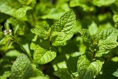 Fresh garden mint Stock Photos