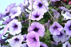 Fresh Garden Petunias Royalty Free Stock Photo