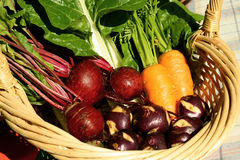 Fresh garden produce. A basket of freshly harvested vegetables Stock Images
