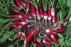 Fresh garden radish. Top view. Fresh garden radish with a tops of vegetable on a wooden table. Top view Royalty Free Stock Photo