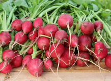 Fresh garden radish with a tops of vegetable, a close up. Royalty Free Stock Images