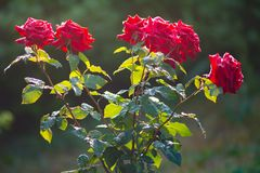 Fresh garden  red roses in rain drops. Dew on flower petals. The Fresh garden  red roses in rain drops. Dew on flower petals Stock Photography