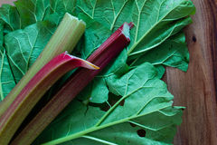 Fresh garden rhubarb on the underside of slug damaged rhubarb leaves against a wood background. Close up, selective focus Royalty Free Stock Images