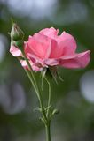 Fresh Garden Rose. Fresh rose grown in nature light royalty free stock image