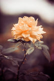 Fresh garden rose Royalty Free Stock Photography