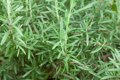 Fresh garden rosemary Royalty Free Stock Photos