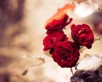 Fresh garden roses Royalty Free Stock Image