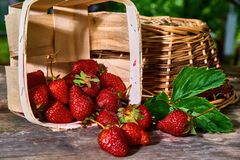 Fresh garden strawberries in a basket. Still life on a garden table royalty free stock photography