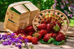 Fresh garden strawberries in a basket. Still life on a garden table stock photography