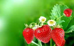 Fresh garden strawberry Royalty Free Stock Images