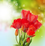 Fresh Garden Tulips On Abstract Spring Nature Backgr Royalty Free Stock Photography