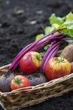 Fresh garden vegetables. Basket of fresh organic garden vegetables Stock Image