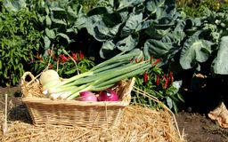 Fresh Garden Vegetables. In a Wicker basket on a hay bale royalty free stock images