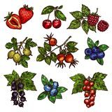 Fresh garden and wild berry fruits. Berry branches sketch of fresh garden fruits. Strawberry, cherry and blueberry, raspberry, gooseberry and briar, red and stock illustration