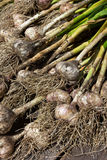 Fresh garlic (Allium sativum) bulbs Royalty Free Stock Images
