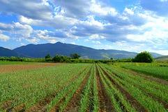 Fresh garlic beds in farmland Royalty Free Stock Image