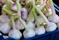 Fresh garlic bulbs Stock Photos