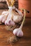 Fresh garlic Royalty Free Stock Image