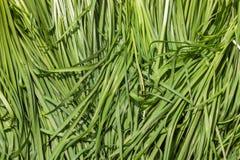 Fresh garlic chives Stock Images