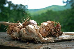 Fresh Garlic from the Garden Stock Photography