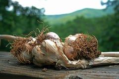 Fresh Garlic from the Garden. Organic garlic fresh from the garden Stock Photography