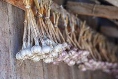 Fresh garlic hanging to dry in bunches on barn wooden wall. Royalty Free Stock Photography