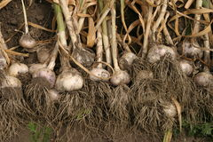 Fresh garlic with roots Stock Image