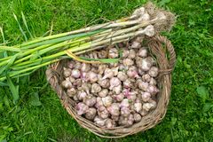 Fresh garlic in the wicker basket Royalty Free Stock Photos