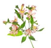 Fresh gentle branch of an alstroemeria stock photos