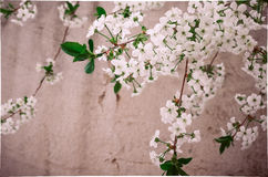 Fresh gentle cherry tree blossom. Beautiful floral textured background with blossom branch Stock Images